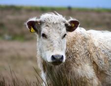 Britai ieško jutiklių gamintojų gyvuliams stebėti