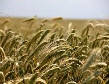 Lenkai ieško ekologiškų grūdų tiekėjų